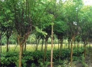 江西宜春:罗汉松热销 造林苗价格上涨