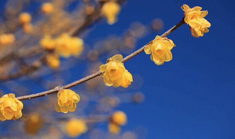 大叶刺梅的养殖方法_腊梅_百科_植物百科_中国园林绿化网