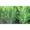 求购大叶黄秧,高度1.3至1.5米