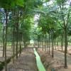 购求米径28的栾树,分枝3米以下带全冠