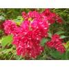 供应:金叶小檗、红王子锦带,红叶小檗、青,红叶女贞、桂花