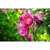 蔷薇、藤本蔷薇、红白花蔷薇、多花蔷薇、蔓性蔷薇、野蔷薇