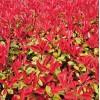 红叶石楠树苗价格