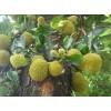 12公分菠萝蜜
