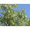 刺槐苗木品种齐