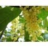 桂花树,2-15公分桂花树