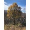 供应:蒙古栎、五角枫、白桦、油松、云杉
