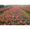 求购:冠幅80公分红叶石楠