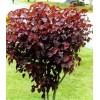 求购紫锦木H200,p180,40棵