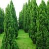 求购70公分高小龙柏15000棵,要求美植袋或营养杯