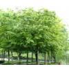 求购精品丛生朴树沭阳50公里范围内货源
