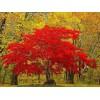 美国红枫8公分,1000棵600坨要辽宁附近 的树有货源联系
