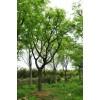 温江附近求购、拼栽丛生朴树